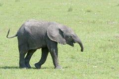 大草原的非洲大象婴孩 免版税库存图片