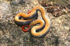 大草原ringneck蛇 库存图片