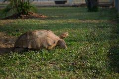 大草龟在庭院里 免版税库存照片