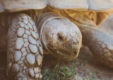 大草龟 免版税库存照片