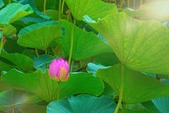 大莲花 漂浮在湖的莲花的明亮的桃红色芽 免版税库存照片