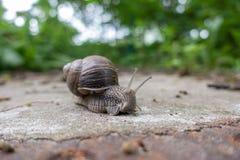 大葡萄园蜗牛横跨地面悠闲爬行 图库摄影