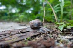 大葡萄园蜗牛横跨地面悠闲爬行 库存图片