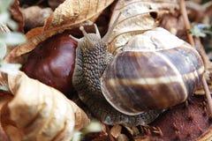 大葡萄蜗牛 免版税库存照片