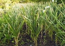 大蒜幼木在庭院里在春天 年轻和绿色大蒜 图库摄影