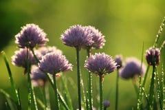 大蒜开花(环境友好的庭院) 免版税图库摄影