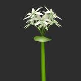 大蒜植物 免版税图库摄影