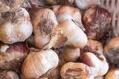 大蒜的不同的类型在食物市场上的 免版税库存照片