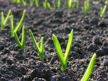 大蒜种植园 免版税库存图片