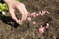 大蒜种植 被倾销的土壤、大蒜电灯泡和手 库存图片