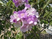 大蒜藤花或Mansoa alliacea 免版税库存图片