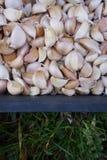 大蒜bulblet和草背景 免版税库存图片
