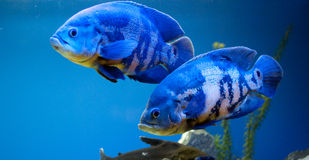 大蓝色夫妇鱼 库存照片