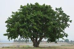 大蓝色老天空结构树 库存照片