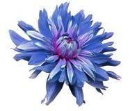 大蓝色花在白色背景打开隔绝与裁减路线 特写镜头 设计的侧视图 水滴  Dah 免版税库存图片