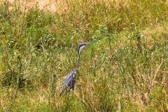 大蓝色苍鹭等待的牺牲者 Meru公园,肯尼亚 免版税库存图片
