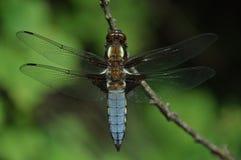 大蓝色蜻蜓和绿色背景 库存图片
