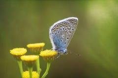 大蓝色蝴蝶 免版税图库摄影