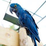 大蓝色金刚鹦鹉鹦鹉 在明亮的蓝色的一只大鸟 免版税库存照片