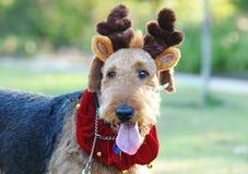 大蓬松狗圣诞节服装驯鹿鹿角 免版税库存照片