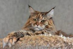 大蓬松猫缅因浣熊在架子说谎高并且看得下来 免版税库存照片