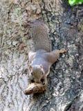 大蕉灰鼠嚼在芒果种子的Callosciurus notatus 库存图片