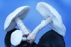 大蘑菇白色 免版税库存照片