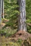 大蚁丘在杉木森林里在弹簧,毁坏被食物的山啄木狩猎在冬天 垂直的图象 免版税库存图片