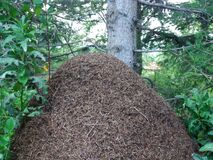 大蚂蚁在山的森林里 库存图片