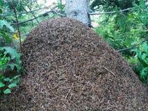 大蚂蚁在山的森林里 免版税库存图片