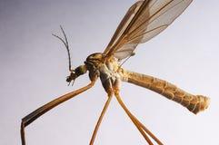 大蚊 免版税图库摄影