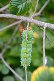 大蚕蛾幼虫 库存图片
