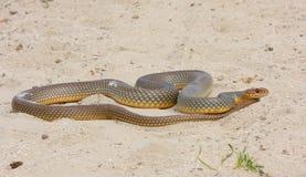 大蛇鞭子 库存照片