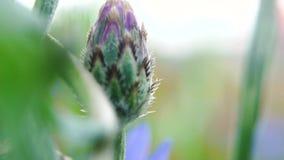 大蜂坐美丽的蓝色矢车菊特写镜头 花由蜂授粉 E r 股票录像