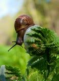 大蜗牛 免版税图库摄影