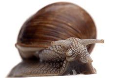 大蜗牛 免版税库存照片