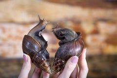 大蜗牛ahatina心形在华伦泰` s天 免版税库存图片