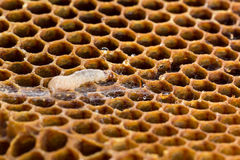 大蜡螟幼虫和网 库存图片