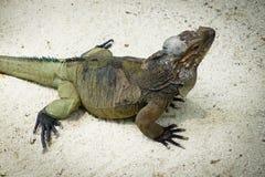 大蜥蜴在动物园里 库存图片