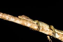 大蜥蜴睡眠整在树的晚在密林  免版税库存图片