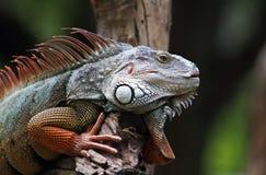 大蜥蜴 免版税图库摄影