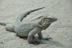 大蜥蜴 库存照片