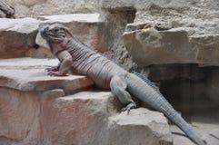 大蜥蜴 库存图片