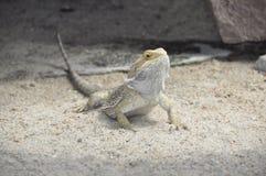 大蜥蜴 免版税库存照片