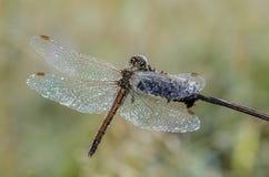 大蜻蜓,盖用露水下落,坐干燥茎 图库摄影