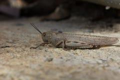 大蝗虫坐地面 库存照片