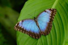 大蝴蝶蓝色Morpho, Morpho peleides,坐绿色叶子,哥斯达黎加 免版税库存照片