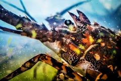 大螯虾在水族馆的Panulirus ornatus顶头射击  库存照片