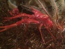 大螯虾 库存图片