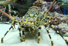 大螯虾 库存照片